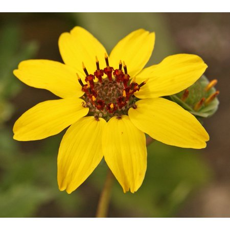 Night Blooming Edible Chocolate Flower   Berlandiera   Very Fragrant   4   Pot