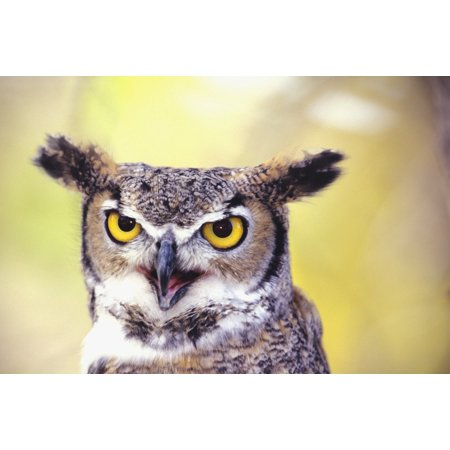 Close up of face of Great Horned Owl (Bubo Virginianus) PosterPrint