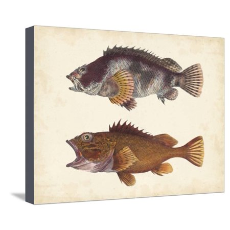 Antique Fish Species II Stretched Canvas Print Wall (Antique Fish)