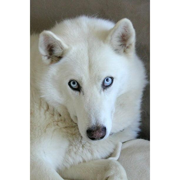 Canvas Print Husky Mix Husky Dog Blue Eyes Blue White Eyes Stretched Canvas 10 X 14 Walmart Com Walmart Com