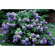 Purple Hydrangea Bush, 1 Each