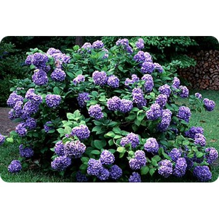 Purple Hydrangea Bush, 1 Each