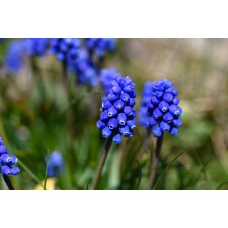 Canvas Print Spring Flower Early Bloomer Muscari Garden Blue Stretched Canvas 10 x 14