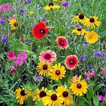 The Dirty Gardener Northeast Wildflower Seed Mix - .5 -