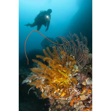 A diver looks on at a group of crinoids Raja Ampat Indonesia Canvas Art - Steve JonesStocktrek Images (12 x 18)