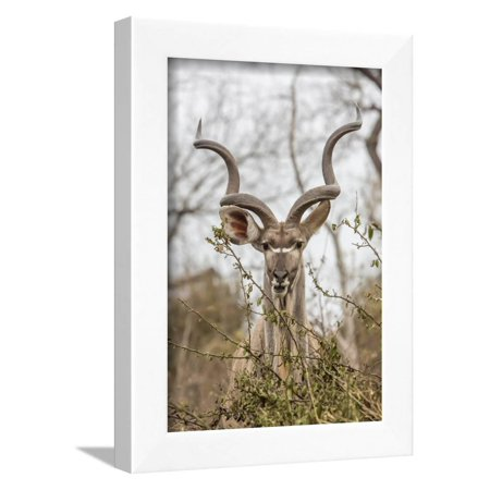 South Londolozi Private Game Reserve. Adult Greater Kudu Framed Print Wall Art By Fred Lord ()
