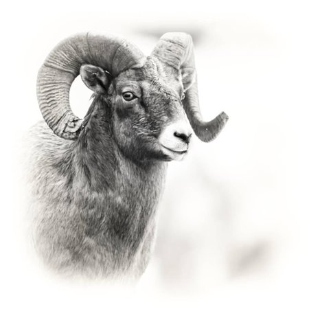 Bighorn Wyoming - Shoshone NF, Wyoming. Black and White Photo of a Big Horn Sheep Print Wall Art By Janet Muir
