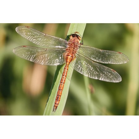 Framed Art for Your Wall Close Dragonfly Water Insect Nature 10x13 Frame ()