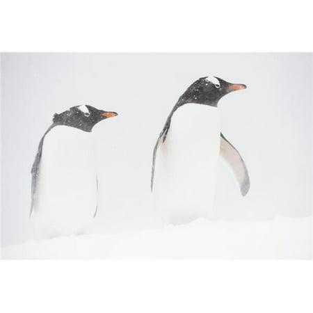 Posterazzi DPI12256057 Gentoo Penguins Pygoscelis Papua in A Snowstorm Mikkelsen Harbor Trinity Island Antarctic Peninsula Print - 19 x 12 in. - image 1 of 1