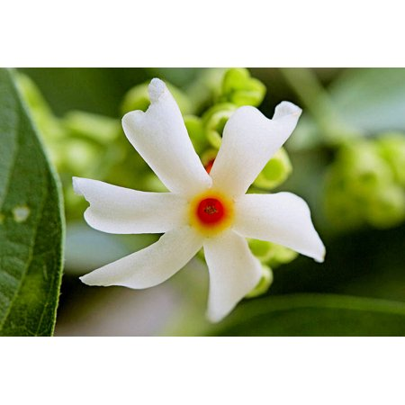 5 Very Rare seeds - Coral Jasmine -Hummingbirds Butterflies Love- Fragrant White Flowers - Tropical Plant seed -Nyctanthes arbor