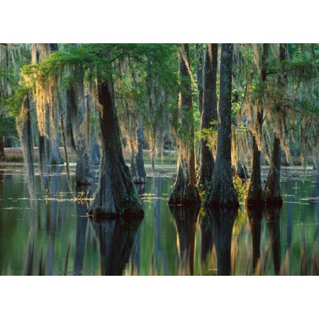 Bald Cypress swamp Sam Houston Jones State Park Louisiana Poster Print by Tim Fitzharris](Ted Sam Jones)