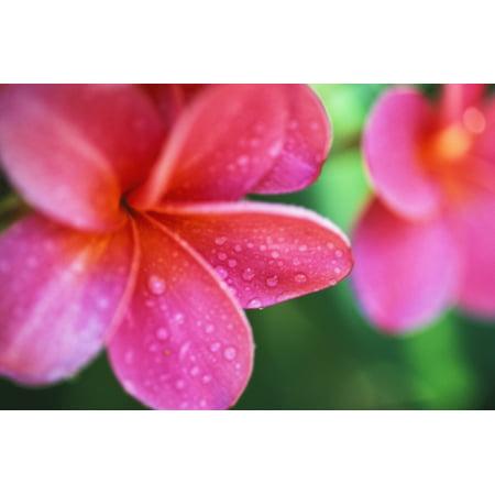 Hawaii maui close up pink plumeria flowers aka frangipani on plant hawaii maui close up pink plumeria flowers aka frangipani on plant outdoor water droplets wet mightylinksfo