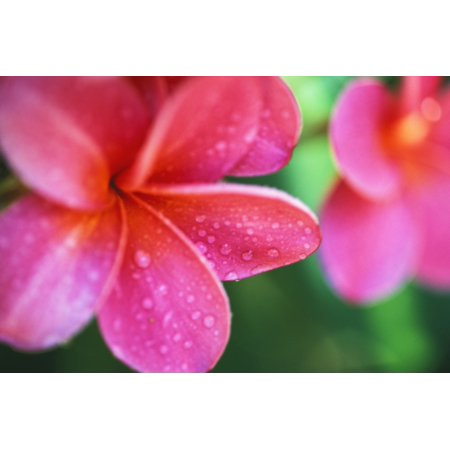 Hawaii Maui Close-Up Pink Plumeria Flowers Aka Frangipani On Plant Outdoor Water Droplets Wet Blurry Background PosterPrint ()