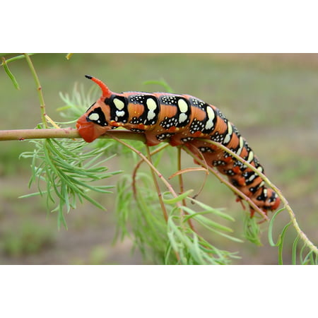 Peel-n-Stick Poster of Invertebrates Stage Orange Caterpillar Insect Poster 24x16 Adhesive Sticker Poster Print