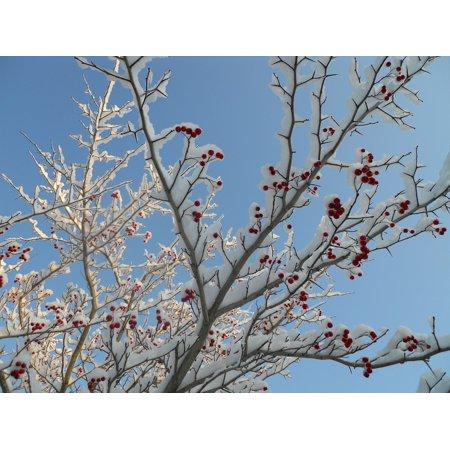 LAMINATED POSTER Tree Hawthorne Tree Snow Hawthorn Red Berries Poster Print 24 x - Hawthorne Berries 24 Bags
