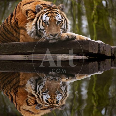 Beautiful Heartwarming Image of Tiger Laying with Head on Paws Reflection in Water Print Wall Art By Veneratio