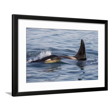 A Calf and Adult Killer Whale (Orcinus Orca) in Glacier Bay National Park, Southeast Alaska Framed Print Wall Art By Michael (Killer Whale Kills Great White Shark National Geographic)