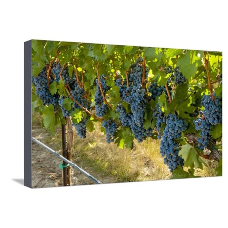 - Washington, Red Mountain. Cabernet Sauvignon Grapes Near Harvest at Col Solare on Red Mountain Stretched Canvas Print Wall Art By Richard Duval