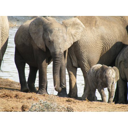 LAMINATED POSTER Africa Animal Safari Elephant Poster Print 24 x 36](Animal Posters)