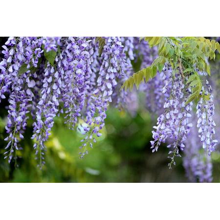 Canvas Print Acacia Glycine Mov Wisteria Spring Tree Flowers