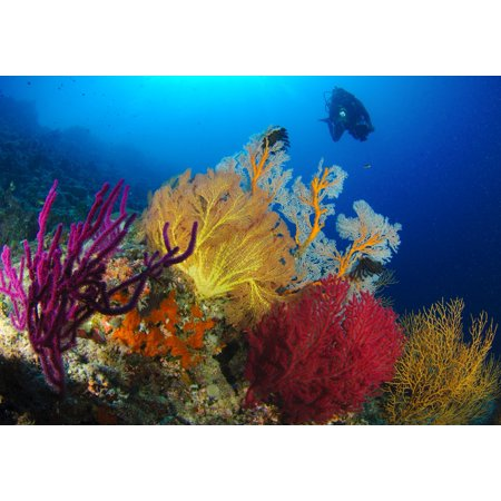 Large Color Poster (A diver looks on at a very colorful reef near Marovo lagoon with large gorgonian sea fans of various bright colours Solomon Islands Poster)