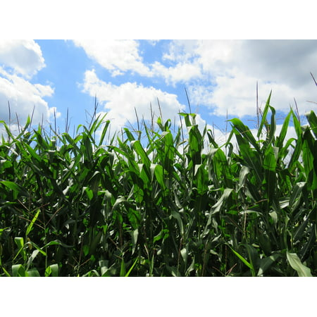 canvas print wisconsin corn feed crop country agriculture farm stretched canvas 10 x 14