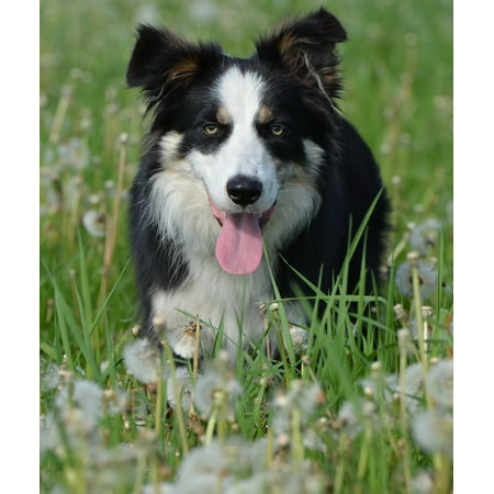 Adhesive Border Stickers (Peel-n-Stick Poster of Border Collie Flower Meadow Dog British Sheepdog Poster 24x16 Adhesive Sticker Poster Print )