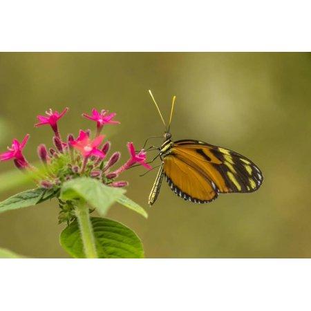 Costa Rica, Monteverde Cloud Forest Biological Reserve. Butterfly on Flower Print Wall Art By Jaynes Gallery Cloud 9 Design Flower