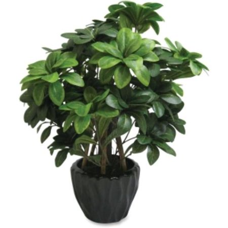 First Base Elementals Pittosporum Tobira Plant   16   Tall   Pittosporum Tobira   Green  Black  Fst 27216