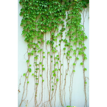 (LAMINATED POSTER Green Leaf Vine Plant Leaf Green Climbing Ivy Poster 24x16 Adhesive Decal)
