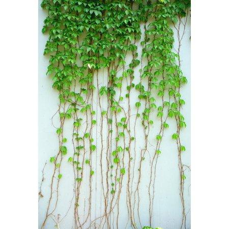 (LAMINATED POSTER Green Leaf Vine Plant Leaf Green Climbing Ivy Poster Print 24 x 36)