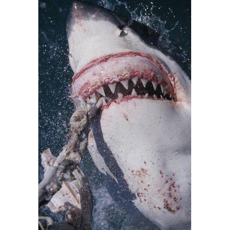 Great White Shark Biting Bait Line Print Wall Art By DLILLC