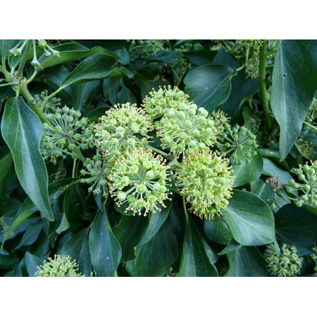 Canvas Print Climber Common Ivy Hedera Helix Inflorescence Ivy Stretched Canvas 10 x