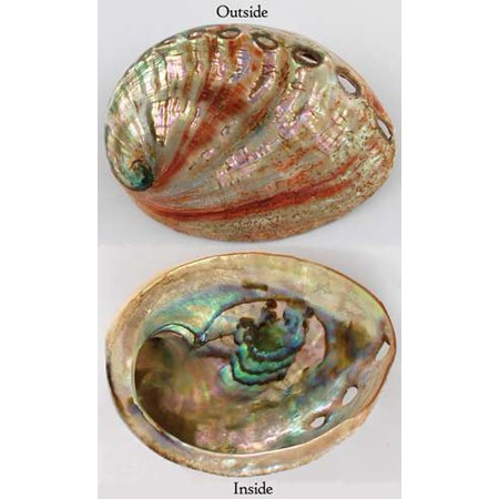 Incense Burner Red Abalone Ocean Sea Shell to Burn Cones or Resins Holder for Smudge Stick Crystals Trinkets or Pretty Décor Each Sold Separately No Two Alike Meditation Relaxation Tool