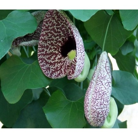 Hardy Dutchman's Pipe Vine - Aristolochia durior - 2.5