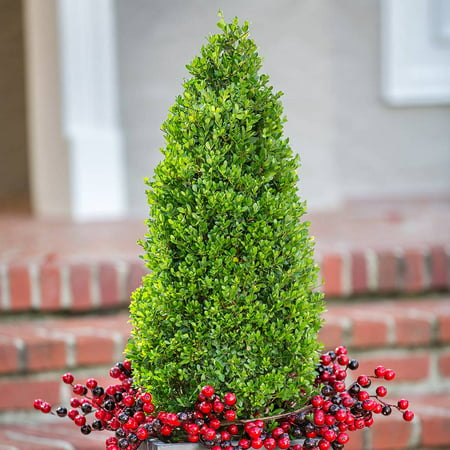 Japanese Compacta Holly Ilex Crenata Pyramid Shaped Walmart Com