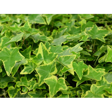 Canvas Print Nature Leaves Green Ranke Climber Ivy Green Plant Stretched Canvas 10 x
