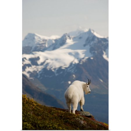 Mountain Goat Stands (Great BIG Canvas | Rolled Daryl Pederson Poster Print entitled A Mountain Goat stands on a ridge with the scenic Kenai Mountains )