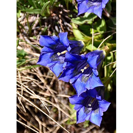 LAMINATED POSTER Alpine Flower Plant Blue Bloom Gentian Blossom Poster Print 24 x 36