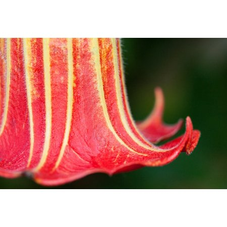 LAMINATED POSTER Angel Trumpet Flower Bell Shaped Datura Plant Poster Print 24 x 36