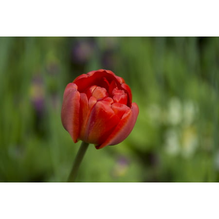 LAMINATED POSTER Spring Red Blossom Flower Tulip Plant Bloom Poster Print 24 x 36
