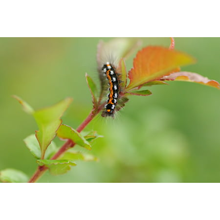 Peel-n-Stick Poster of Caterpillar Insect Nature Butterfly Caterpillar Poster 24x16 Adhesive Sticker Poster Print
