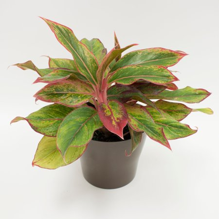 Delray Plants Red Aglaonema Creta Easy To Grow Live House Plant 6 Inch Grower