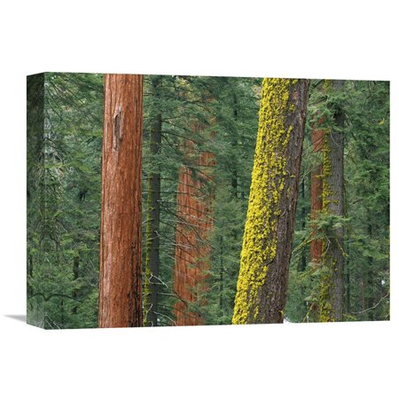 Global Gallery Giant Sequoia Trees in Grant Grove Sequoia National Park California Wall Art