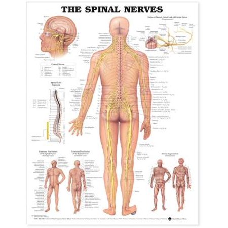 The The Spinal Nerves Anatomical Chart (Nerves Chart)