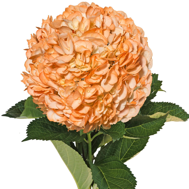Fresh Cut Airbrushed Orange Hydrangeas, Pack of 15 by InBloom Group