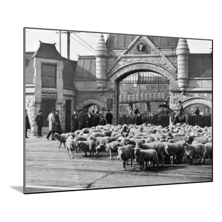 Sheep Arriving at the Chicago Stockyards to Be Converted into Legs of Mutton and Lamb Chops Wood Mounted Print Wall Art - Mutton Chop Moustache
