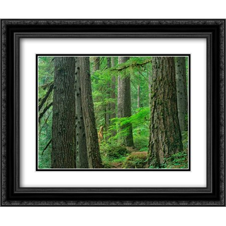 Old growth forest of Western Red Cedar Grove of the Patriarchs, Mount Rainier National Park, Washing 2x Matted 24x20 Black Ornate Framed Art Print by Fitzharris, -