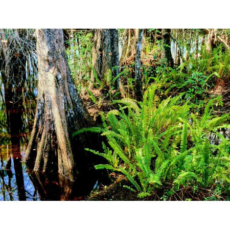 Cypress trees in swamp, Six Mile Cypress Slough Preserve, Fort Myers, Florida, USA Print Wall (Stores In Fort Myers Florida)