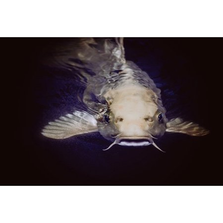 Canvas Print Catfish Swimming Underwater Fish Animal Pond Stretched Canvas 10 X 14